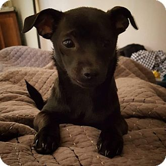 Adopted Santa Barbara Ca Chihuahua Terrier Unknown Type