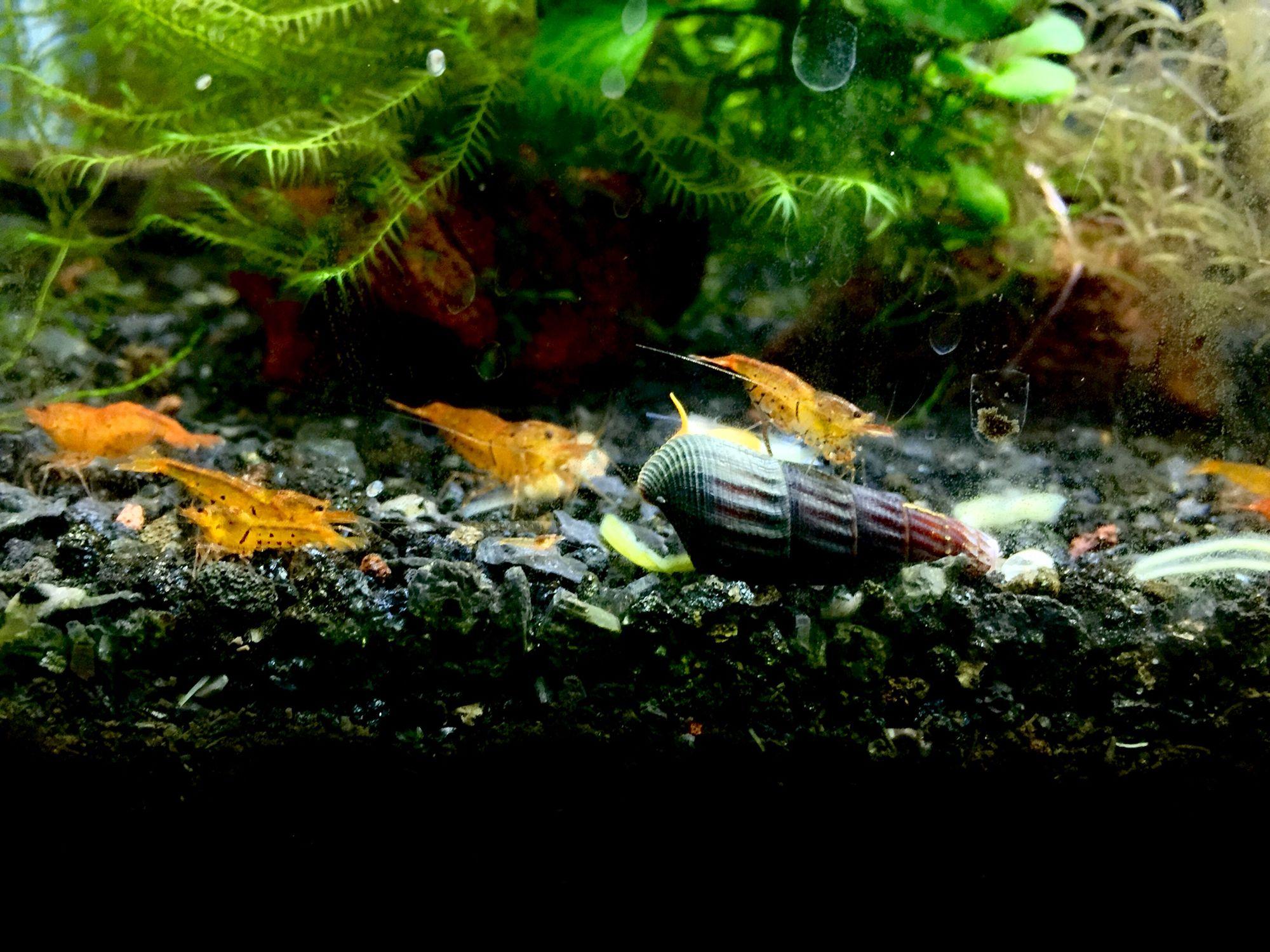Freshwater aquarium fish that eat snails - Tangerine Tiger Shrimps And Rabbit Snail Are Eating Dry Spinach At Jungle Aqua Shrimp Tiger Shrimpfreshwater Aquariumfish