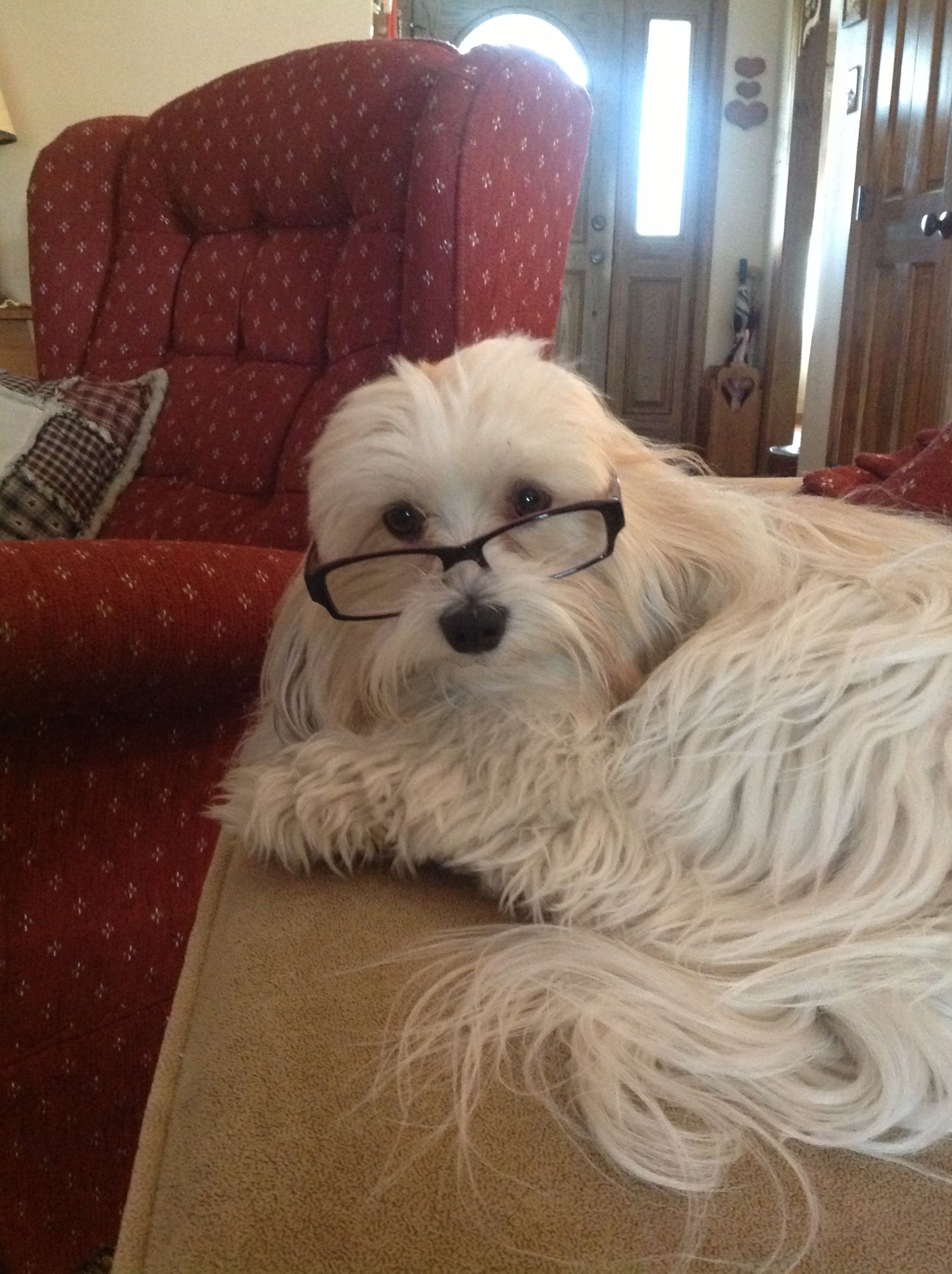 Havanese Aka Velcro Dogs Because Their Favorite Place Is Wherever You Are By Your Side Whether You Re Sitting Walkin Havanese Dogs Best Dog Breeds Havanese