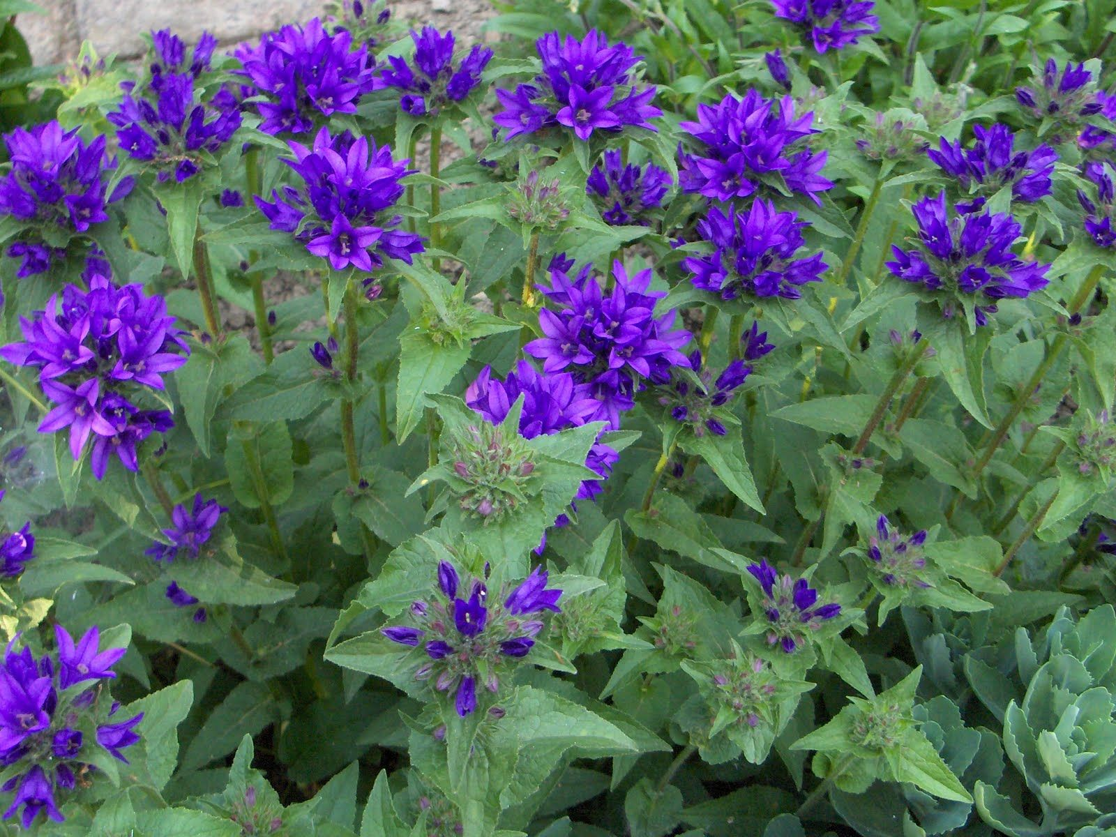 Most popular zone 6 perennial shrubs and groundcovers bell most popular zone 6 perennial shrubs and groundcovers bell flowers campanula dhlflorist Images