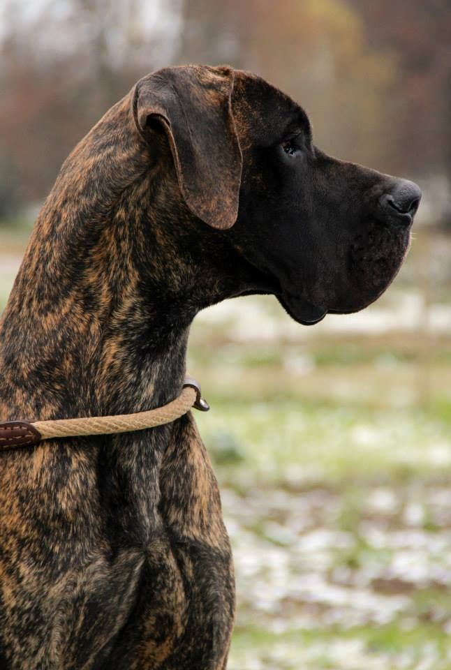 Brindle Great Dane Dane Dog Great Dane Dogs Brindle Great Dane