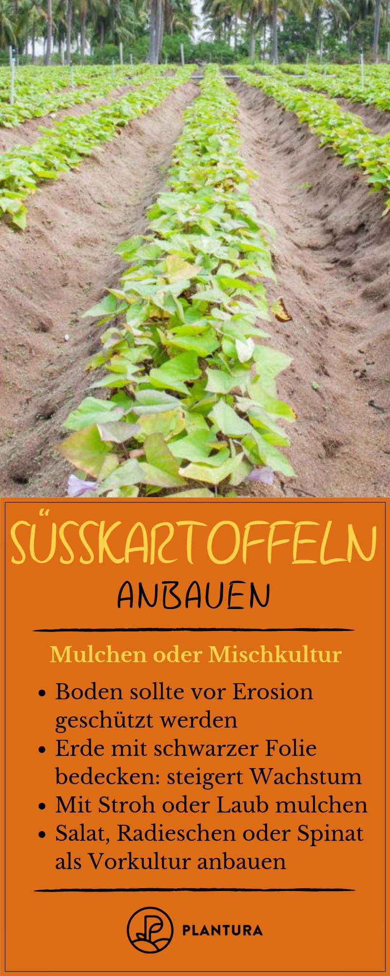 Susskartoffeln Anbauen Tipps Zum Pflanzen Im Garten Susskartoffeln Anbauen Susskartoffeln Pflanzen Pflanzen