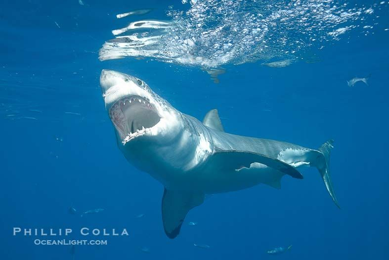 Great White Shark Photo Phillip Colla Natural History Photography ...