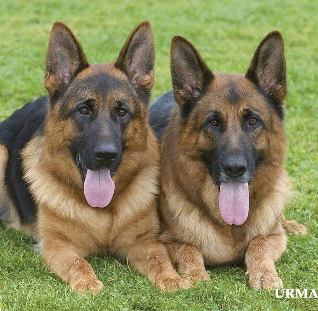 Germanshepherd Gsd Dog Dogsofinstagram Gsdofinstagram Dogs K