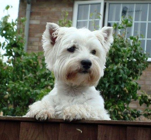 3 Ways To Train A Dog Not To Bark Westies Dog Training Dog Love