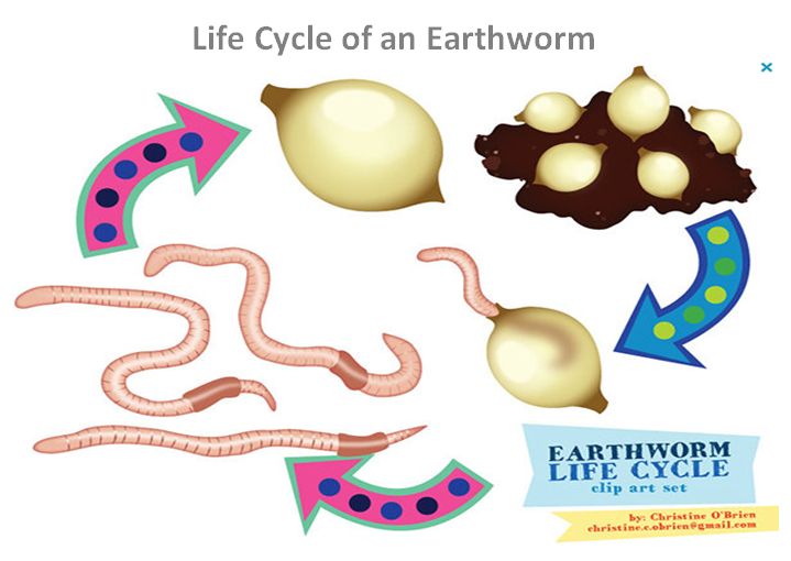 Earthworm Life Cycle Images Google Search