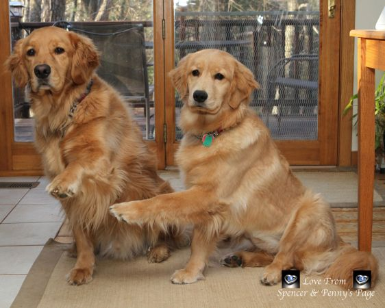 You Put Your Left Paw In And Shake It All About Golden Retriever