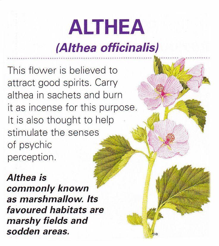 Althea Magic herbs, Magickal herbs, Magical herbs