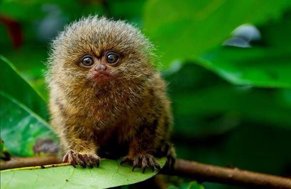 The smallest monkey species in the world, the pygmy marmoset