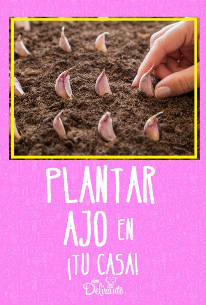 Aprende a plantar ajo en tu casa, ¡es muy fácil!
