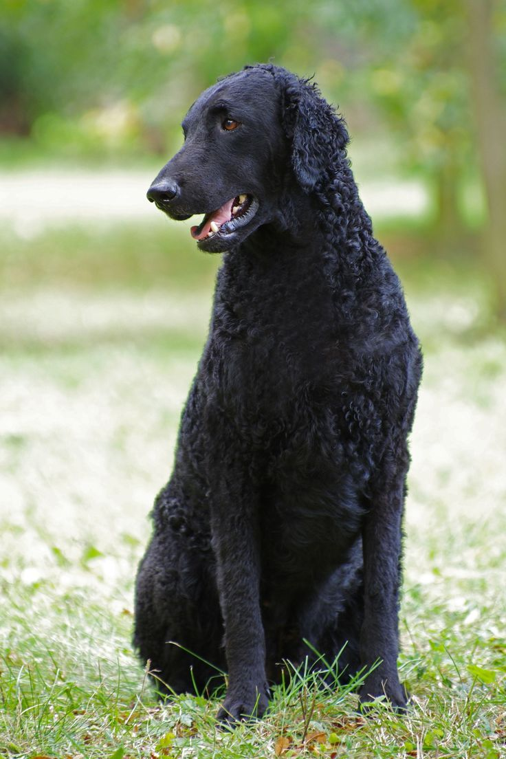 Eye infection can also arise in Curly Coated Retriever