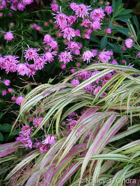 Well, just one more, this time a place-related genus name: Hakonechloa macra (Hakone grass), found near Mount Hakone on the island of Honshu, in Japan. Shown here is the selection 'Aureola', developing fall color that nicely echoes Symphyotrichum novae-angliae 'Harrington's Pink' (New England aster).