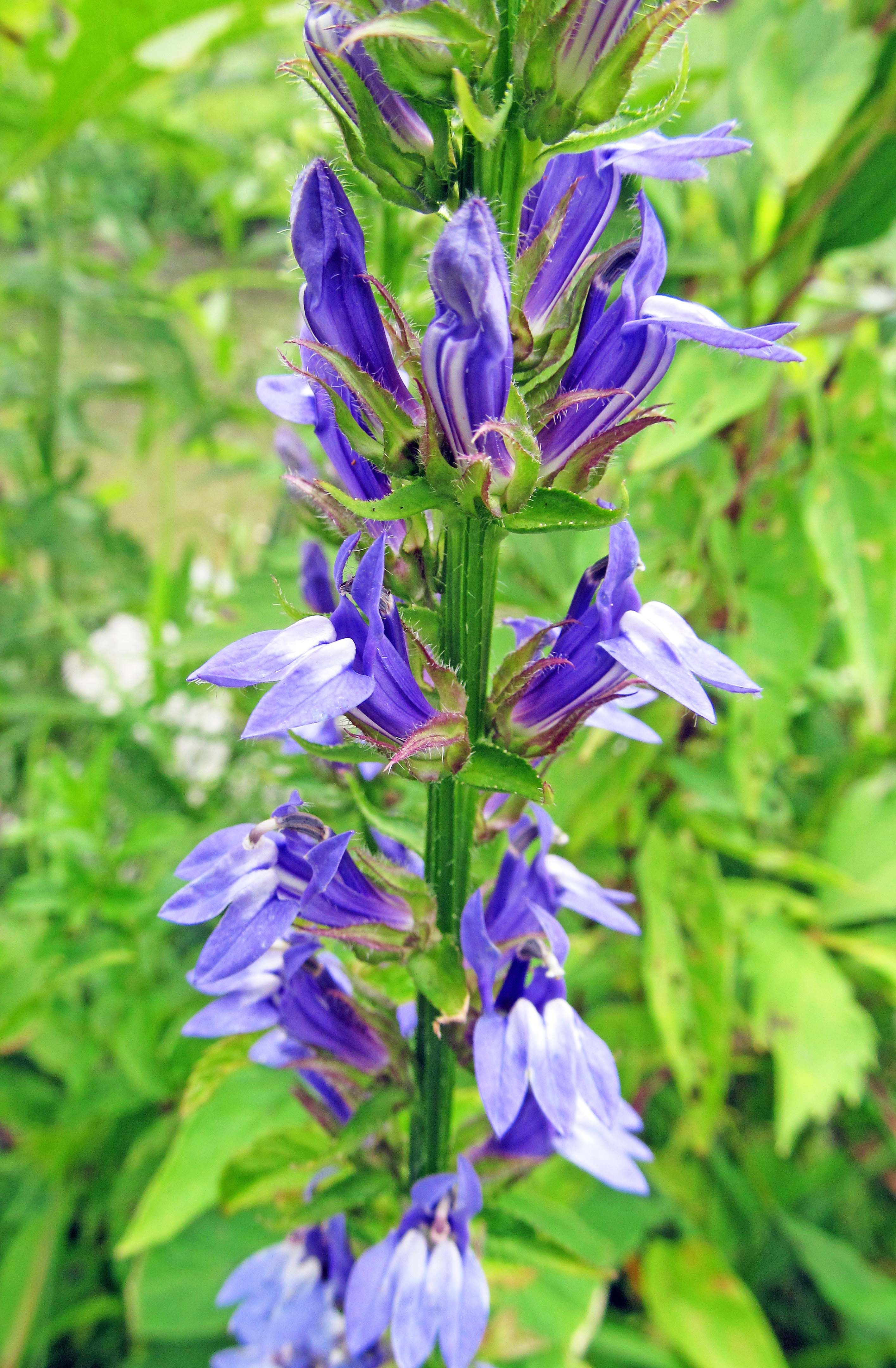 Lobelia siphilitica it is a medicinal herb that was once used to numerous flowers grow on the stem of this plant leading to more opportunities for pollinators to pollinate izmirmasajfo Images