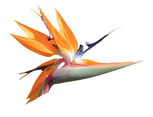 Bird Of Paradise Transparent Flowers Flower Bird Flowers