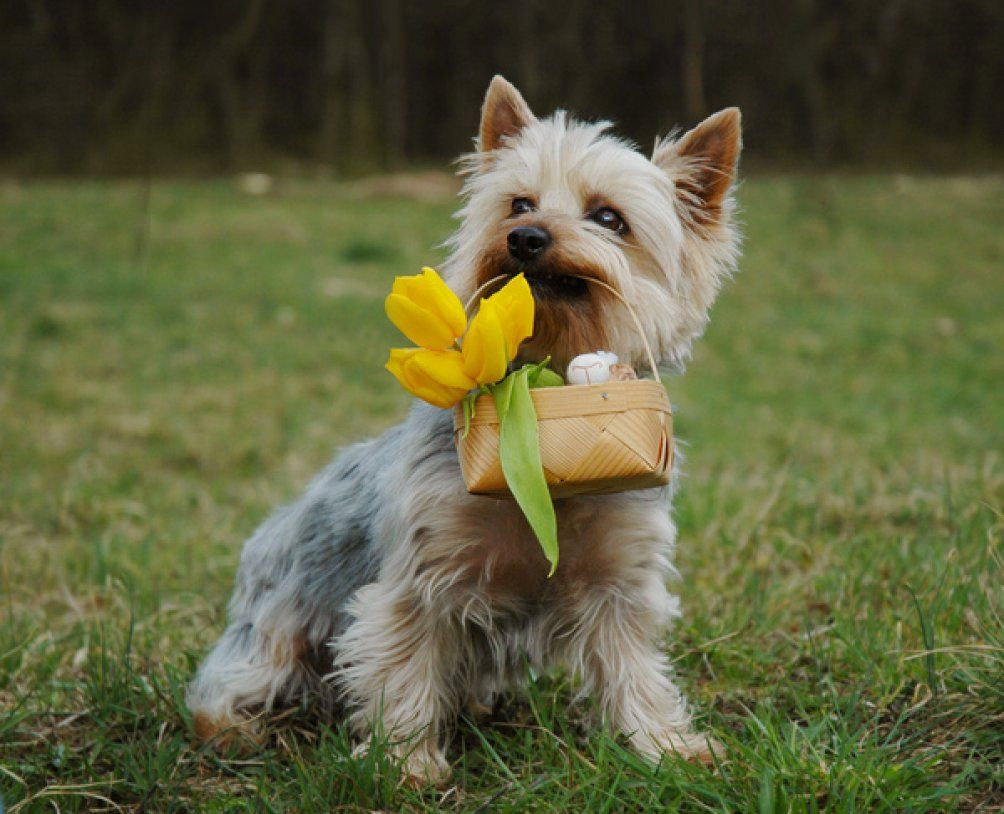 4bii Pets Prima Girl Has An Australian Silky Terrier Her Dog Is A Girl Her Name Is Pia She Is Re Australian Silky Terrier Silky Terrier Terrier Dog Breeds