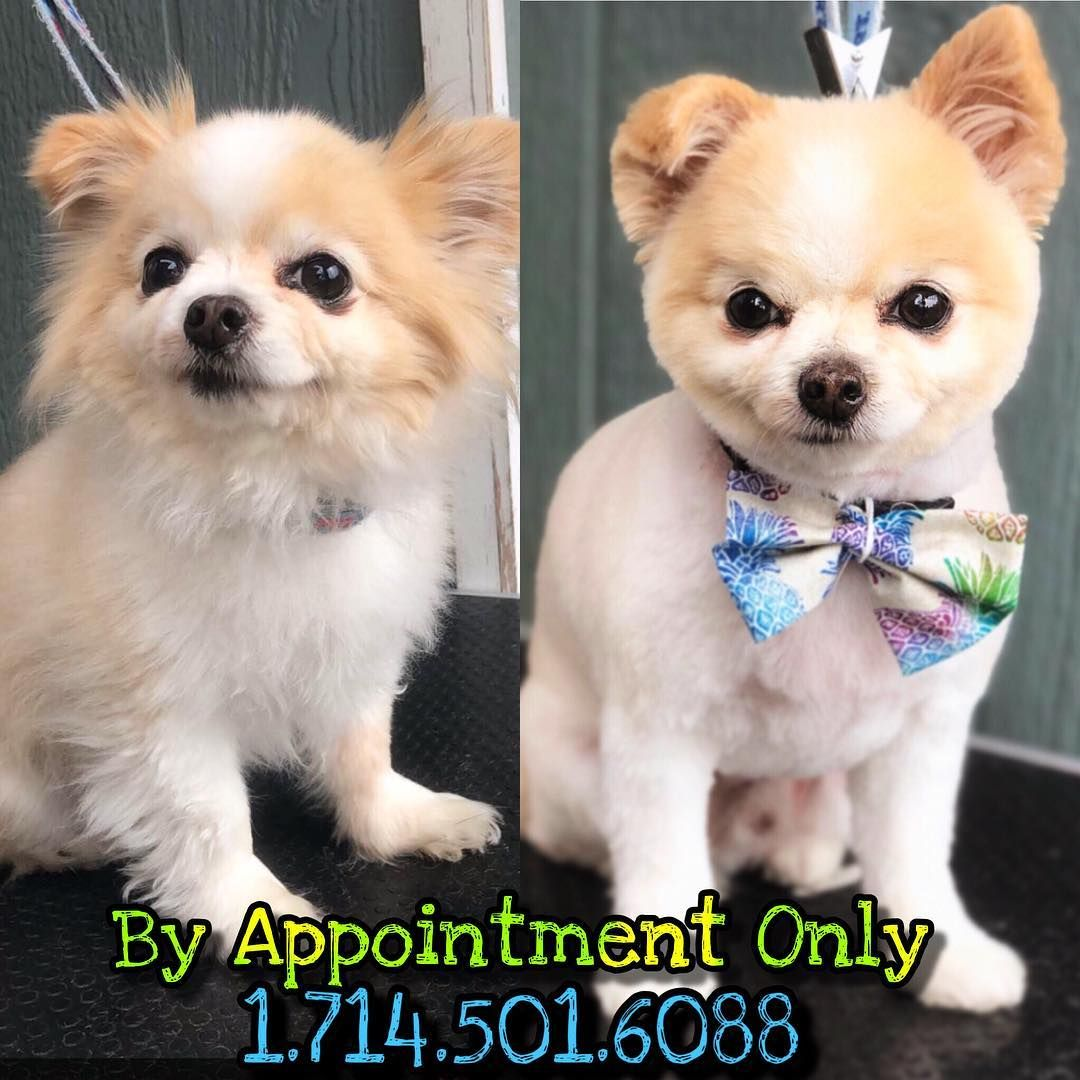 Pin By Kalissa Anderson On Chance Haircut In 2020 Cute Chihuahua