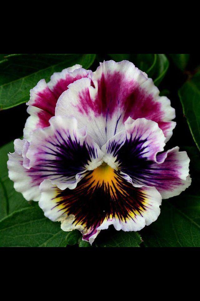 Stiefmutterchen Pansies Flowers Flower Seeds Flowers