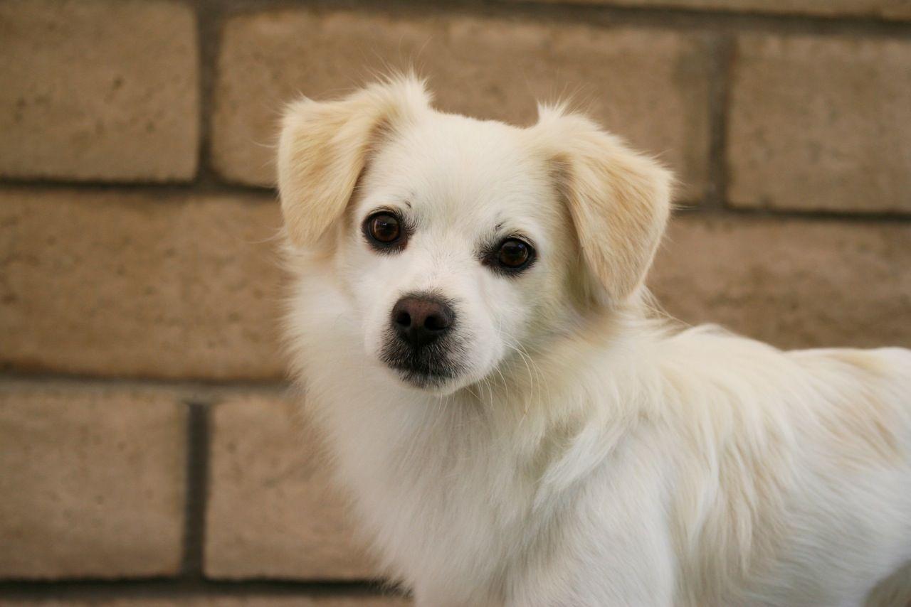 Logan Dog Adoption Chihuahua Mix Long Haired Chihuahua