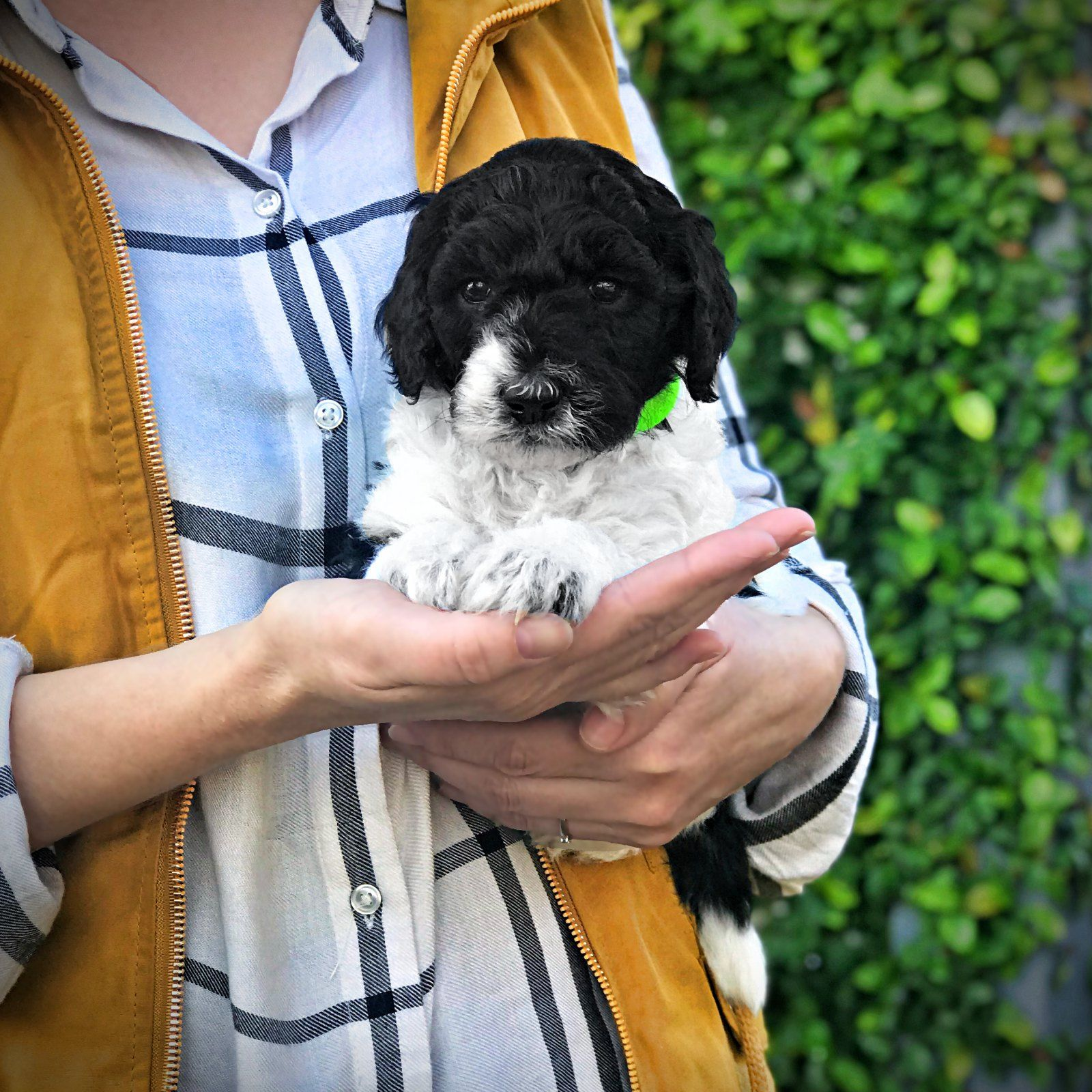 5 Weeks Old Poodle Central Valley California Puppies For Sale