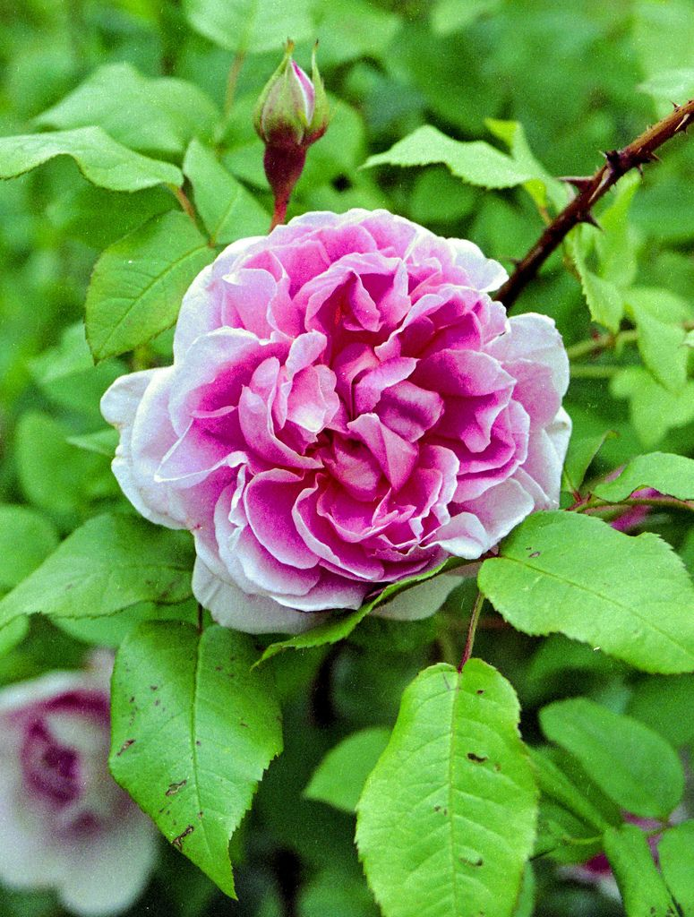 Outstanding Cottage Rose English Rose English Roses Rose English Interior Design Ideas Tzicisoteloinfo