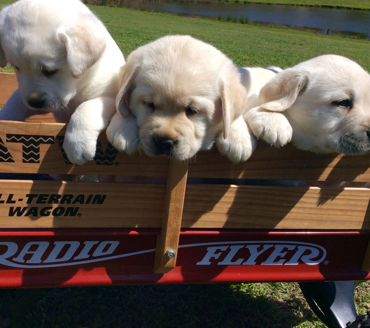 North Carolina Labrador Puppies For Sale Centrally Located In Thomasville North Carolina Minutes Away From Greensboro High Point Wi Labrador Puppies For Sale Lab Puppies Puppies