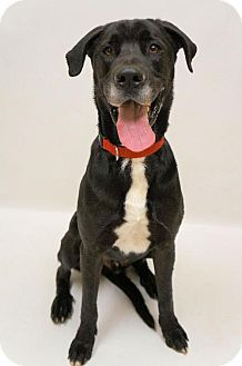 Virginia Beach Va Great Dane Labrador Retriever Mix Meet 1403
