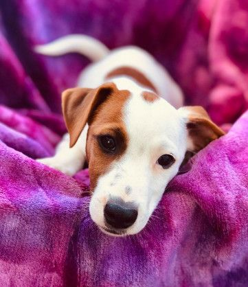 Harry Adoptable Dog Puppy Male Jack Russell Terrier Beagle Mix