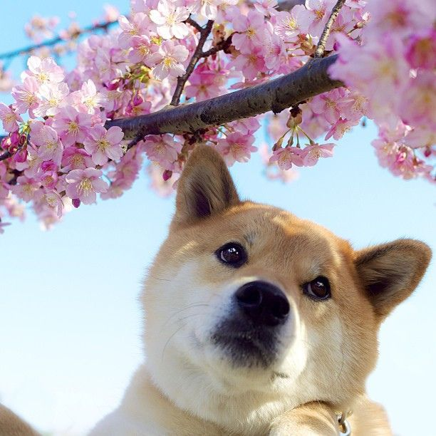 Cute names for your female Shiba Inu