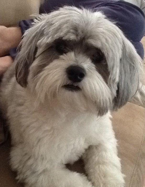 Shih Poo Cavachon Puppies Dog Haircuts