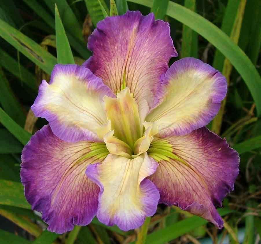 Louisiana Iris 'Sugarplum Treat'