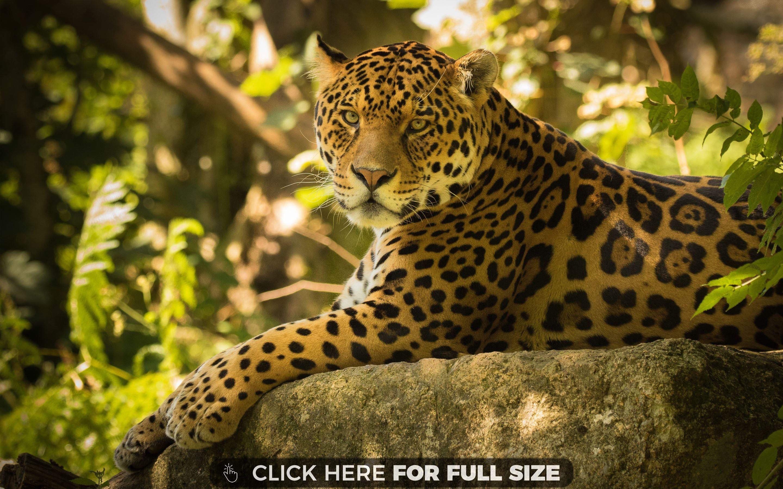 Chincha The Jaguar Desktop Wallpapers Pinterest Wallpaper And