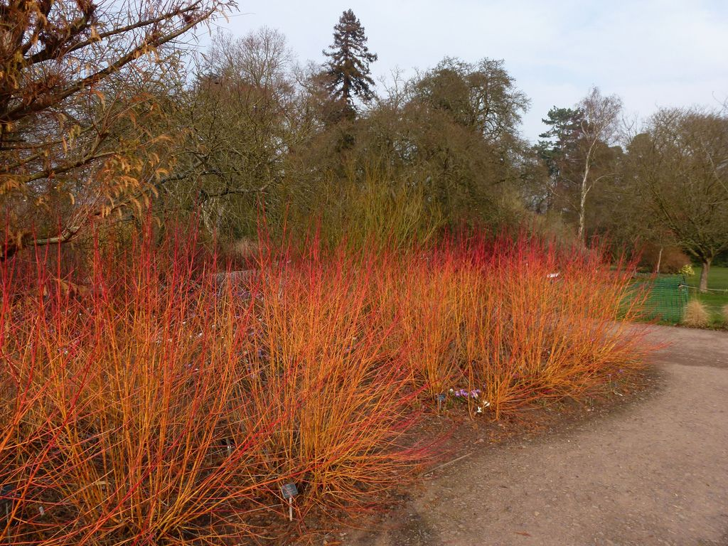 Midwinter Fire Twig Dogwood Google Search Red Twig Dogwood Twig Dogwood Yellow Twig Dogwood
