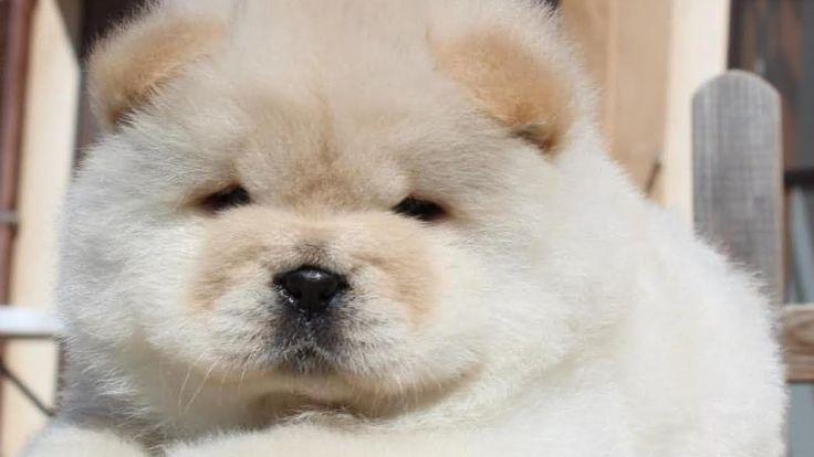 Cute Chow Chow Chow Chow Puppy Chow Chow Chow Chow Perros
