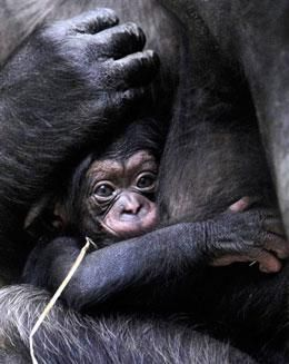 Chimps Give Birth Like Humans So I M All Duh And Click Thru