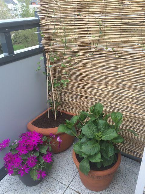 Balkon Bambus Sichtschutz selber bauen Clematis