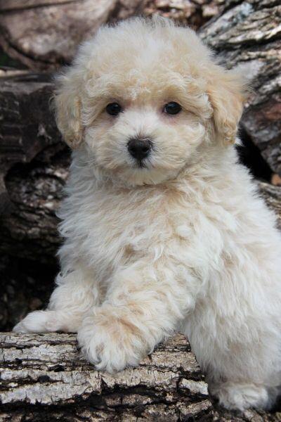 Austin Dog Maltipoo Puppy Cream With Images Maltipoo