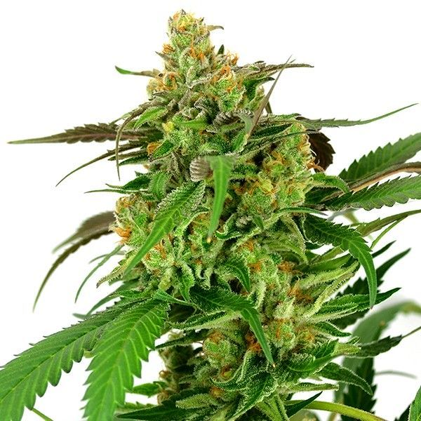 Sage N Sour by T H  Seeds is a 75% sativa strain that unites
