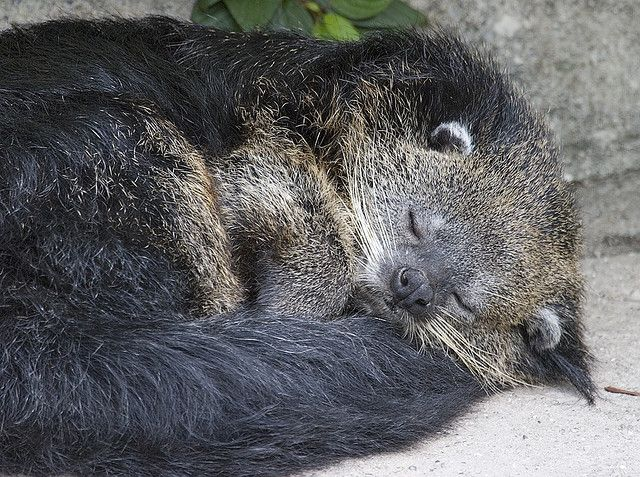 Binturong Serenity Cute animals, Detroit zoo, Cute