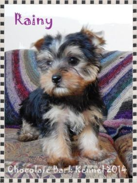 yorkie coloring pages akc - photo#37