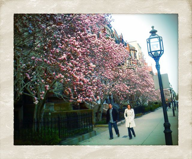 """Burstin' with Pink.""   iPhoneogrpahy.  Magnolia trees in bloom on Boston's Commonwealth Ave."