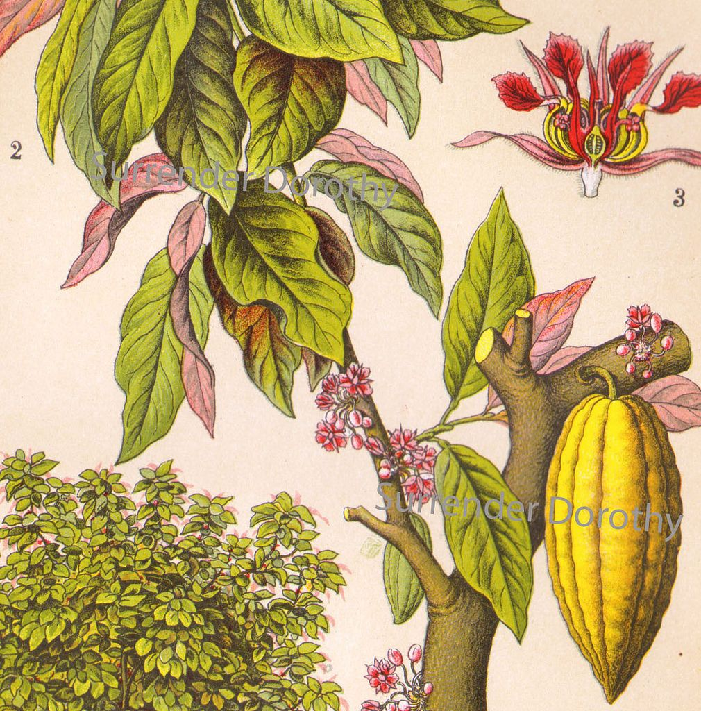 Cacao Tree 1906 Cocoa Plant Botanical Painting Botanical Illustration