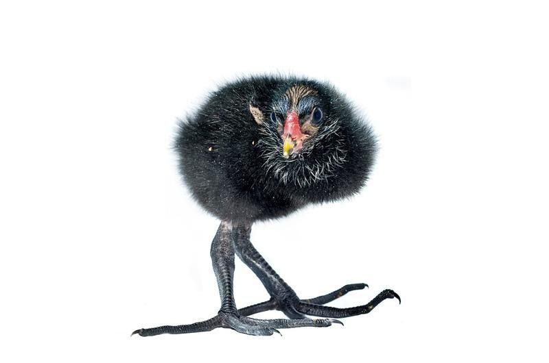 A Young Moorhen At Rspca West Hatch Birds Baby Bird