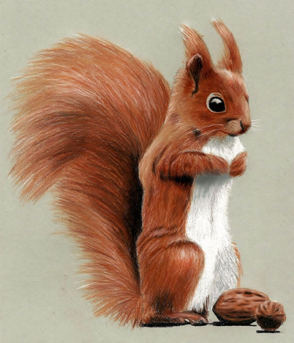Cute Squirrel Drawing with Colored Pencils by JasminaSusak