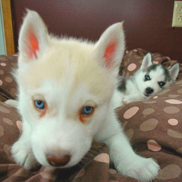 All white husky! Like my Thor baby!! | Cute animals, Baby ...
