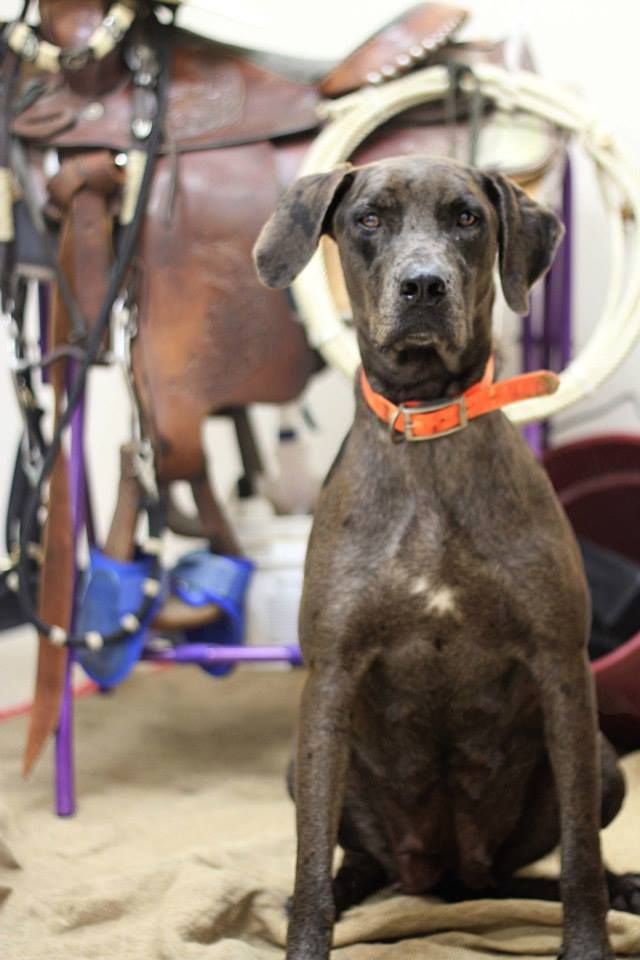 Rosenberg, TX -   Fort Bend County Pets - Fort Bend County Animal Services Yesterday ·     This is a Merle Catahoula mix. If interested contact Ft. Bend Animal Services at 281-342-1512! ID#RG0930