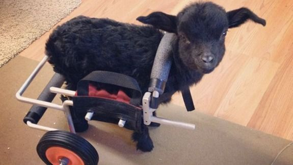 Tiny baby goat lost his back legs but not his zest for life