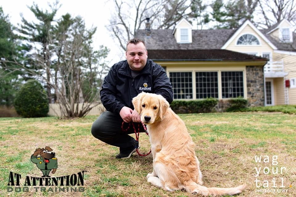 Atattnetiondogs Com Dog Training Golden Retriever Puppy