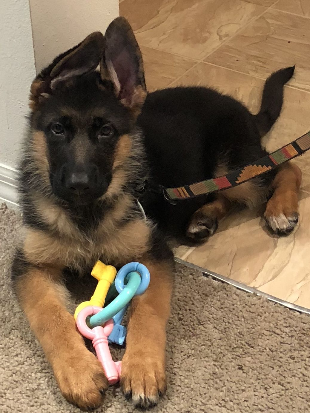 German Shepherd Puppies In Orlando Fl Learn More About The Many