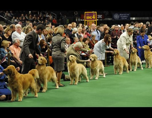 Golden Retriever National Dog Show Dog Show The Kennel Club