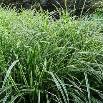Ziergras Carex Ice Dance Japan Segge